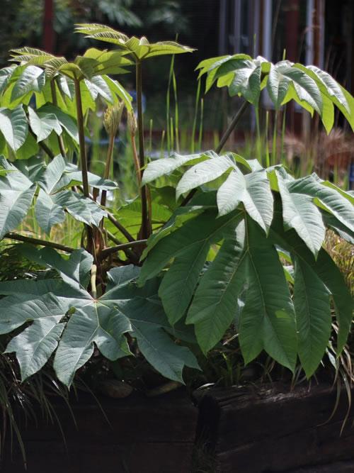 tetrapanax papyrifera pflanze 1 jahr