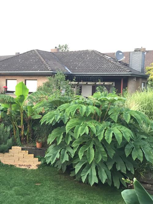 tetrapanax papyrifera pflanze 2 jahre